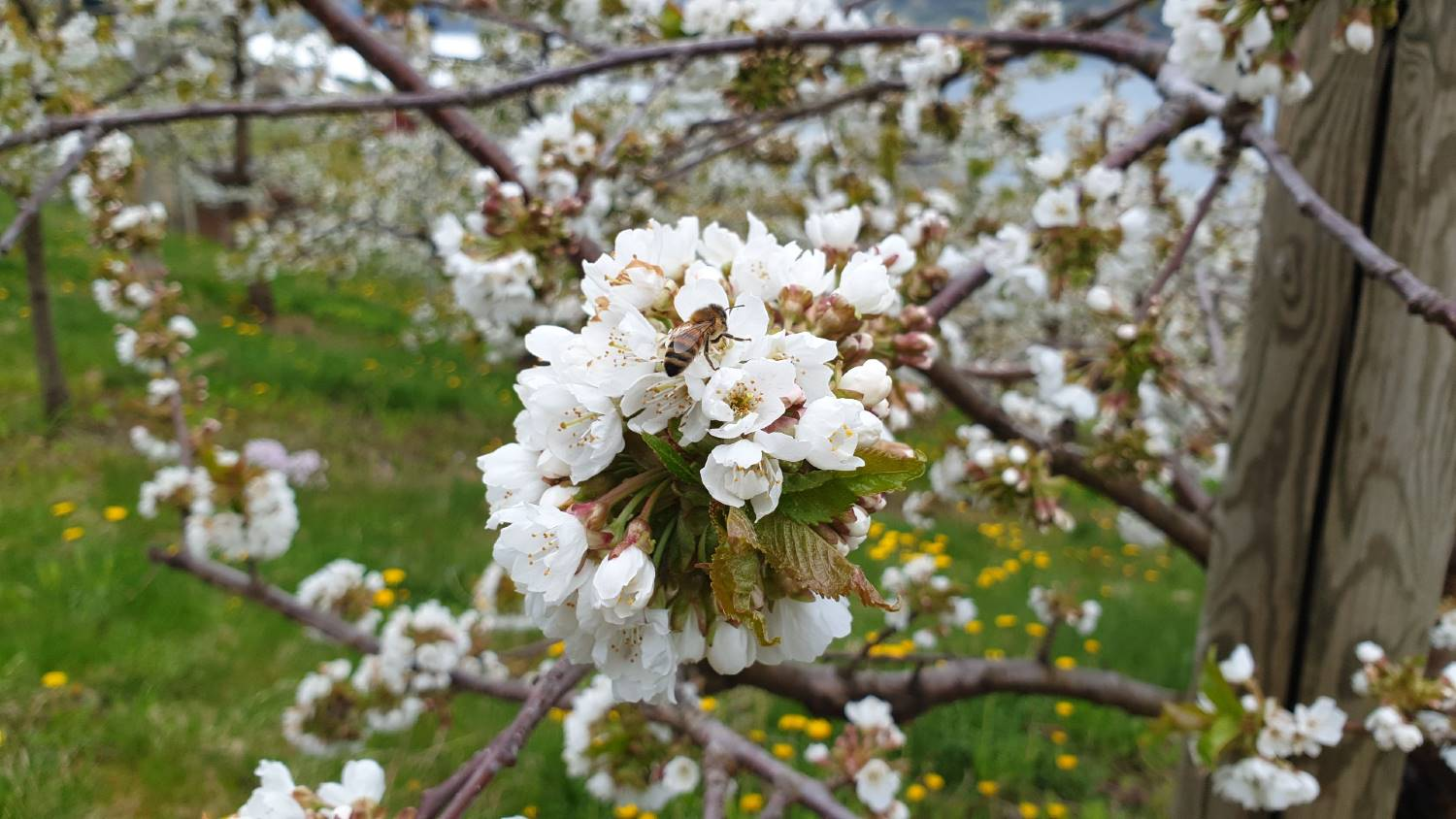 Blossoming fruit trees Hardanger