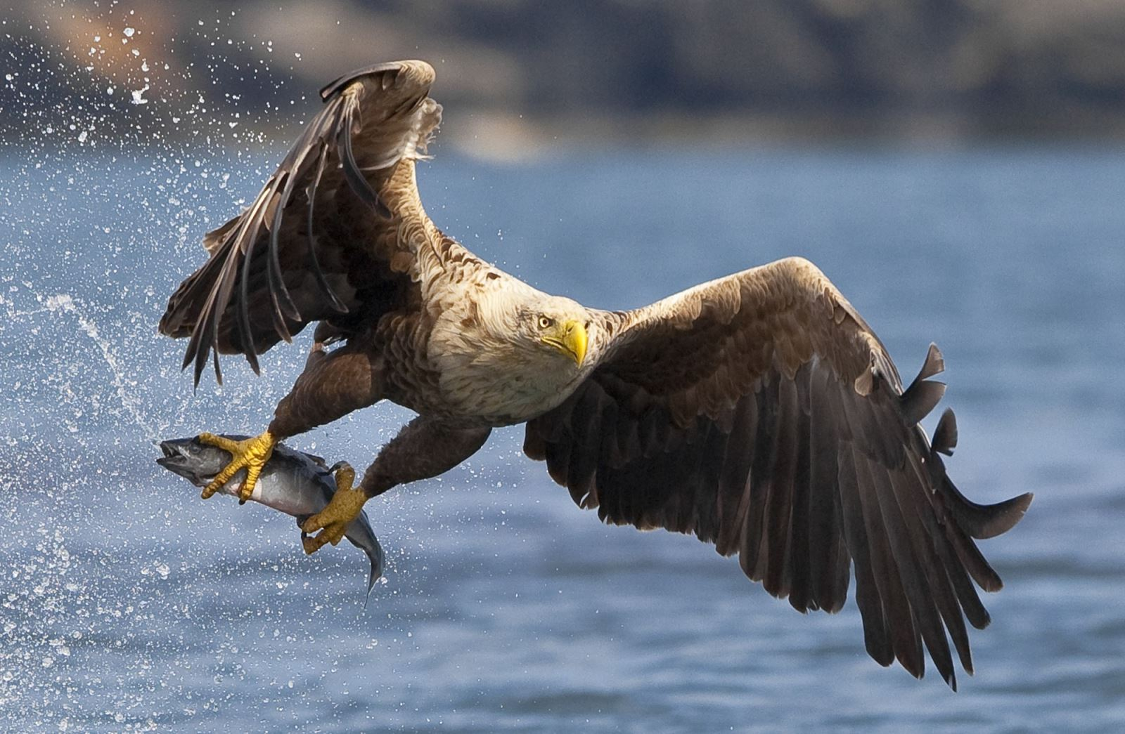 The sea eagle, the largest bird of prey!