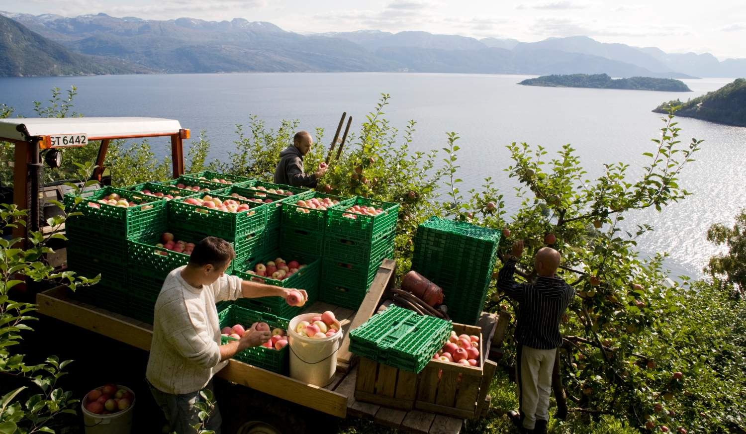 Apples from Norway - Hardanger apples