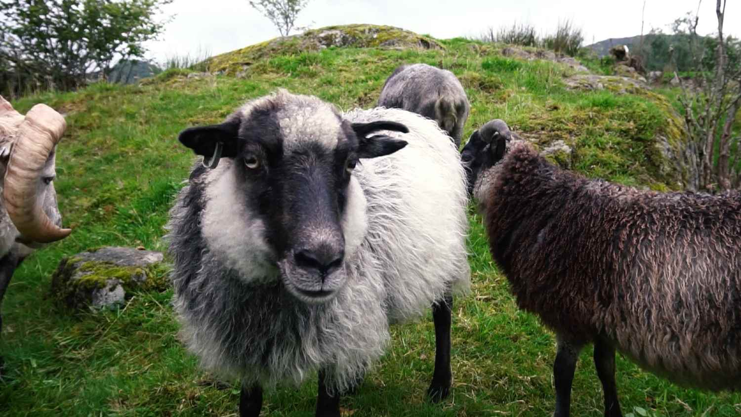Bergen delicacy - Old Norse sheep